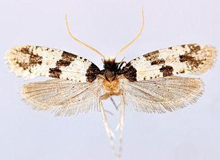 <i>Thisizima fasciaria</i> Species of moth