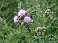 Thistle with cuckoo spit.jpeg