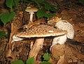Three different kinds of mushrooms (2745602062).jpg