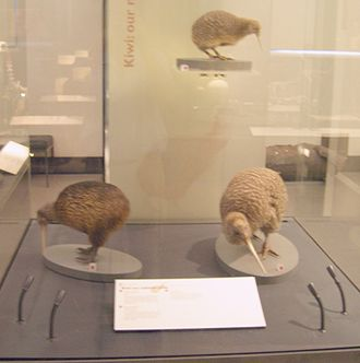 Kiwi - Clockwise from left: brown kiwi (Apteryx australis), little spotted kiwi (Apteryx owenii) and great spotted kiwi (Apteryx haastii) at Auckland War Memorial Museum