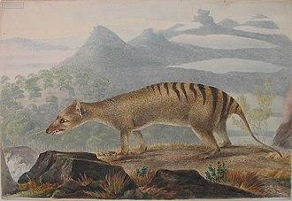 John Lewin - Image: Thylacine by John Lewin