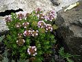 Thymus camphoratus 1.JPG