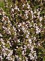 Thymus vulgaris 2020-06-06 9315.jpg