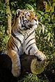 Tiger (16602315426).jpg