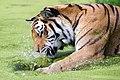 Tiger Zoo Vienna.jpg