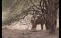 Tiger in Ranthambore 19.png