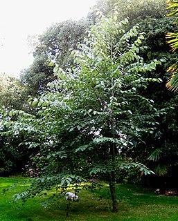 <i>Tilia tuan</i> species of plant