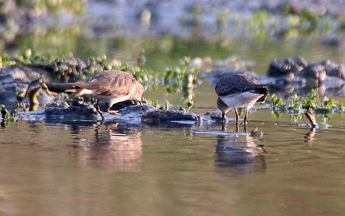 Timminck's Stint (Breeding & Non-breeding plumage) at Hodal I IMG 9641