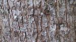 Toona calantas (Philippine mahogany) - 2.jpeg