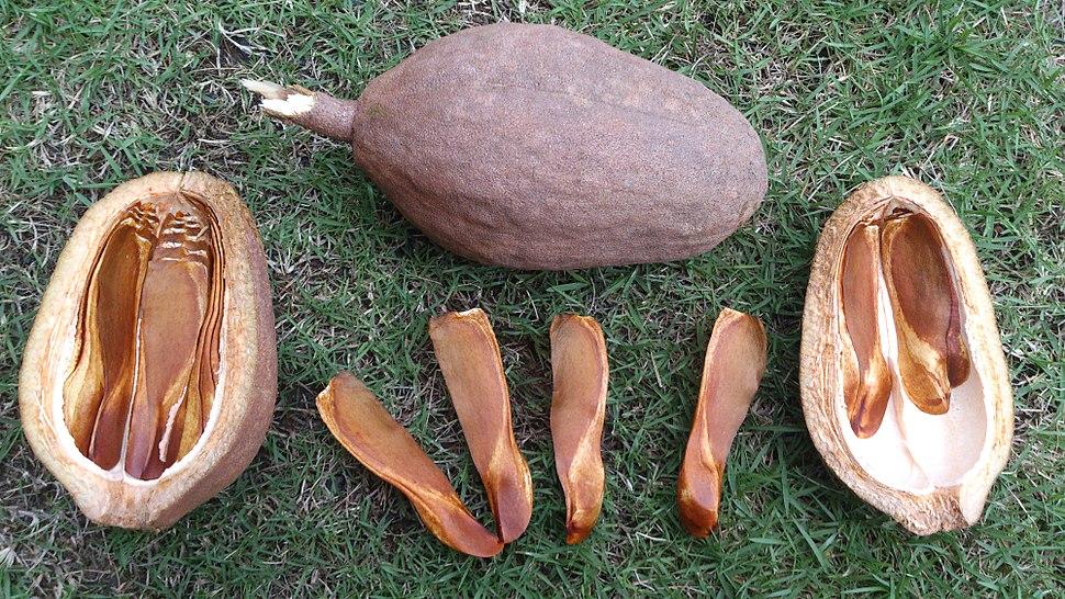 Toona calantas (Philippine mahogany) seeds - 7.jpeg