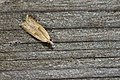 Tortricidae (41472356005).jpg