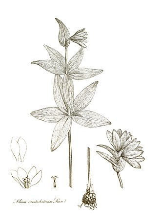 Fritillaria camschatcensis - Image: Transactions of the Linnean Society of London, Volume 10 tab. 11 renewed
