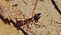 Trap Jaw Ant (Odontomachus rixosus) (8676319466).jpg