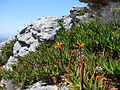 Trappieskop Clovelly Cape Town - Aloe commixta.jpg