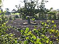 Tree in field - geograph.org.uk - 574822.jpg