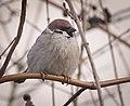 Tree sparrow (47306260351).jpg