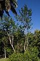 Trichilla havanensis CF9A3629 Siguaraya.jpg