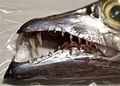 Trichiurus lepturus mouth.jpg