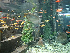 TrichogastermicrolepisMoonlightgourami Commons.jpg