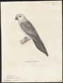 Trichoglossus euteles - 1700-1880 - Print - Iconographia Zoologica - Special Collections University of Amsterdam - UBA01 IZ18500237.tif
