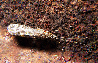 Bioindicator - Caddisfly (order Trichoptera), a macroinvertebrate used as an indicator of water quality.