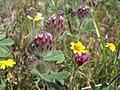Trifolium albopurpureum.jpg
