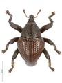 Trigonopterus santubongensis holotype - ZooKeys-467-071.tif