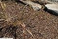 Tripsacum dactyloides 1zz.jpg