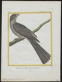 Trogon curucui - 1700-1880 - Print - Iconographia Zoologica - Special Collections University of Amsterdam - UBA01 IZ16700343.tif