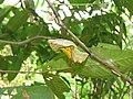 Troides minos - Southern Birdwing pupa at Thattekkadu (5).jpg