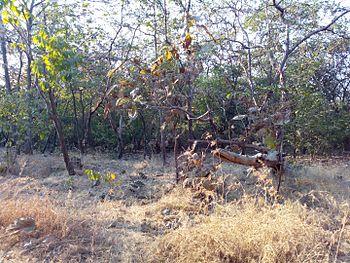 Tropical deciduous forest - Gir Forest1.jpg