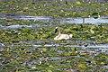 Trumpeter Swan (35324437383).jpg