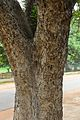 Trunk - Kigelia africana- Santiniketan 2014-06-29 5377.JPG