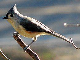 Tufted titmouse perching 2006-11-23