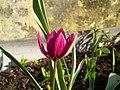 Tulipa humilis.jpg