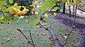 Tuliptree (36946724894).jpg