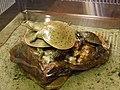 Turtle - Soft Shell PA160282.jpg