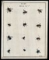 Twelve flies (Muscæ species). Coloured etching by M. Harris, Wellcome V0022483ER.jpg
