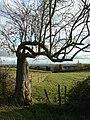 Twisted tree - geograph.org.uk - 1167885.jpg