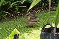 Two Duck's (11284538026).jpg