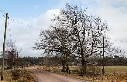 Two bare trees in Gåseberg.jpg