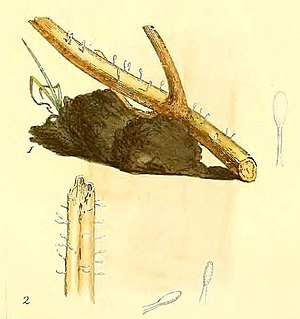 Typhula quisquiliaris - Typhula quisquiliaris, as illustrated by James Sowerby