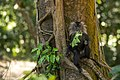 Uday Kiran Lion-tailed macaque eating leaves-3.jpg