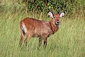Ugandan defassa waterbuck (Kobus ellipsiprymnus defassa) juvenile male.jpg