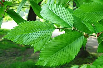 Ulmus thomasii - Image: Ulmus thomasii (meisse) leaves 2