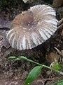 Um cogumelo listradinho.jpg