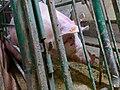 Undercover Investigation at Manitoba Pork Factory Farm (8250095083).jpg