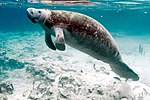 Underwater photography on endangered mammal manatee.jpg