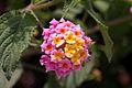 Unidentified flower, Bandungan, Semarang Regency, 2014-09-30 01.jpg