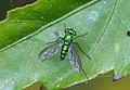 Unidentified fly, Bandungan, Semarang Regency, 2014-09-30 02.jpg